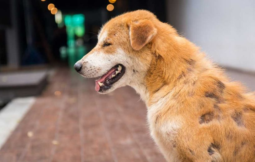 Dog Hair Loss Home Remedies [The Complete Guide] | HolistaPet