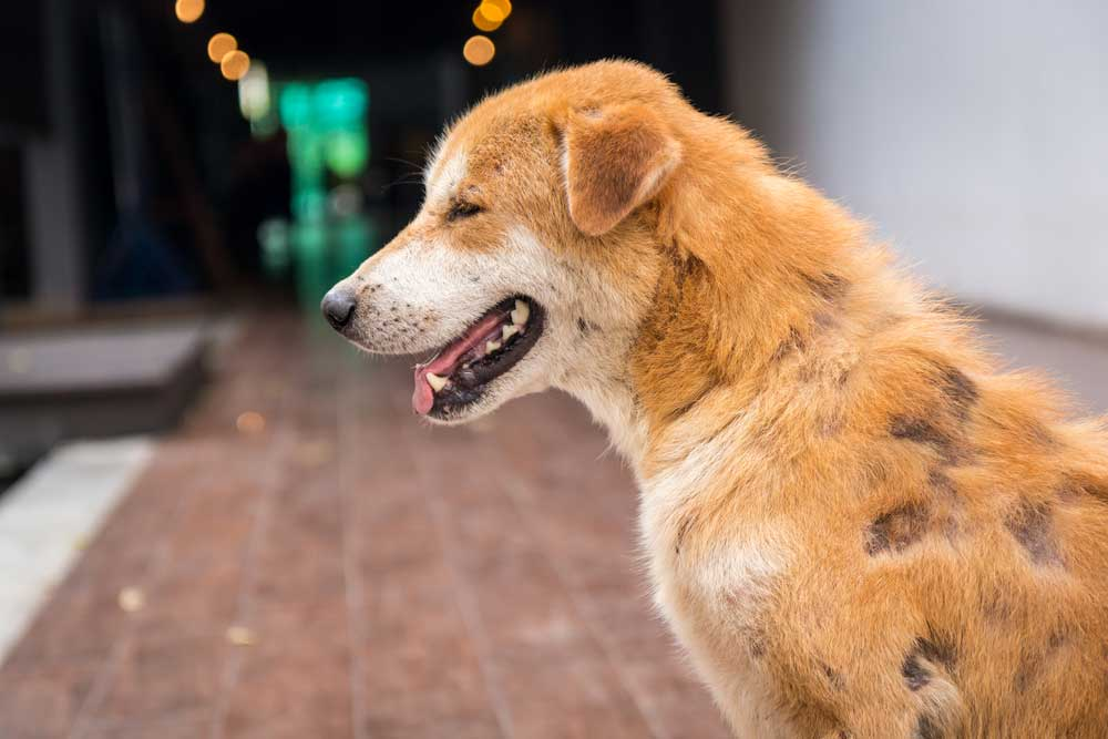 labrador allergies hair loss main image