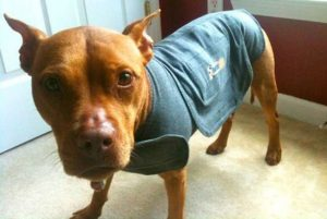 nervous dog wearing a thundershirt