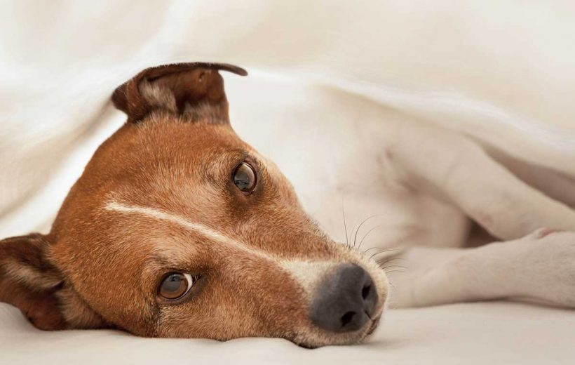 CBD & Mast Cell Tumors In Dogs Explained
