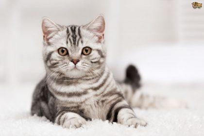 feline-cancer-cbd-helps-cats