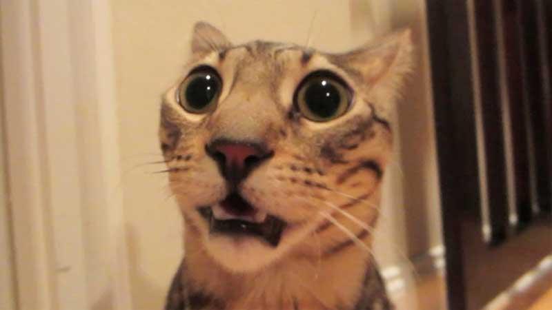 scared-cat-ears-back