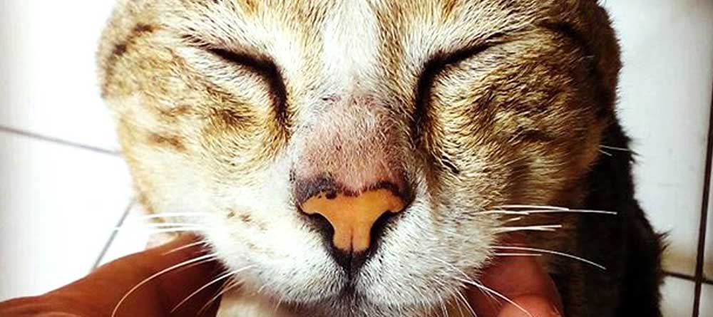 Is Cbd Oil Safe For Cats The Real Story Holistapet