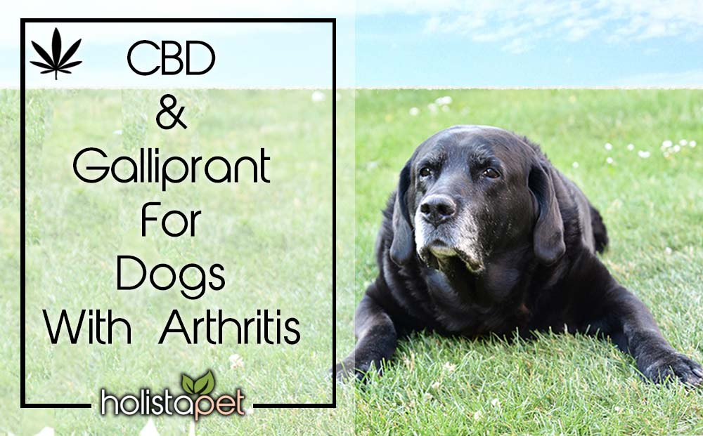 cbd-and-gallaprant-for-dogs-with-arthritis-3