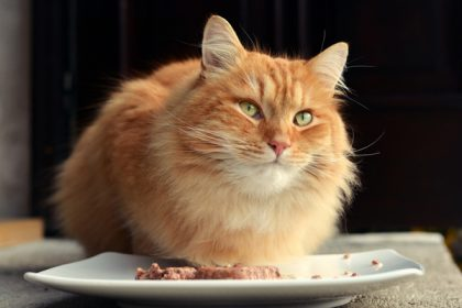 Cat Not Hungry-IBS In Cats