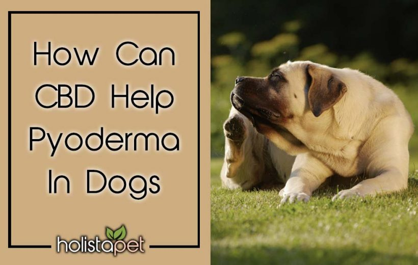 Pyoderma In Dogs & How CBD Can Help [Treatment & Preventative]