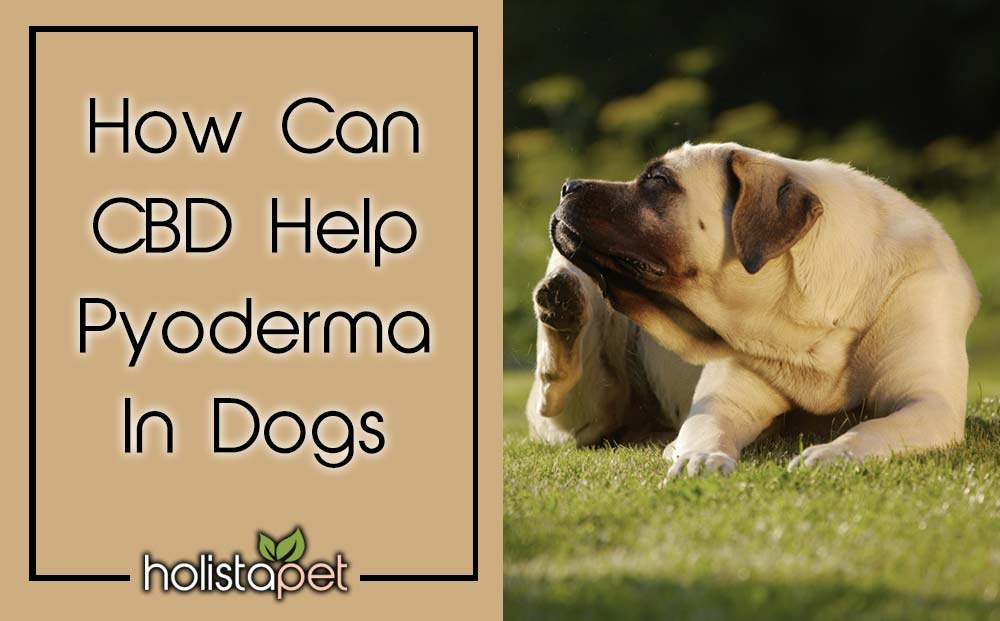 CBD for pyoderma in dogs