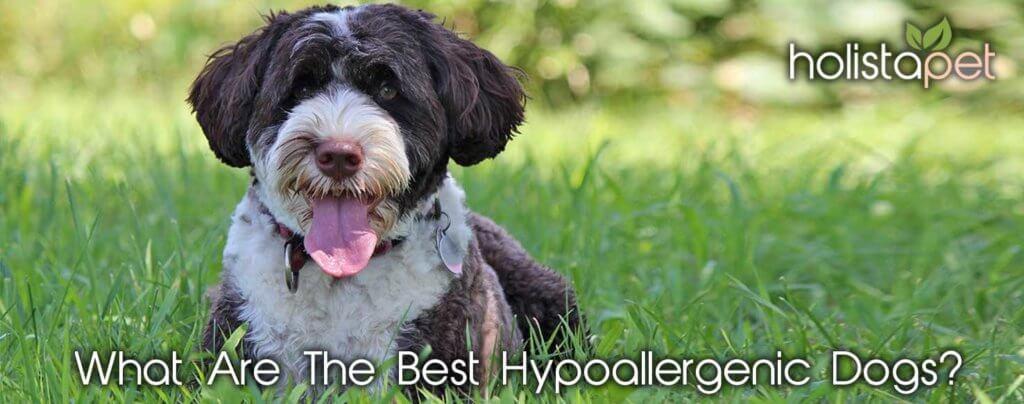 best hypoallergenic dog holistapet banner