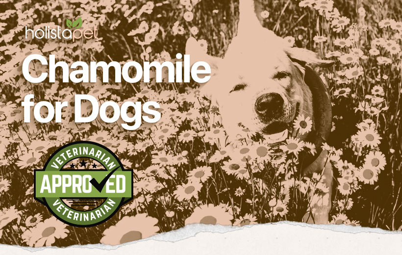 chamomile for dogs featured blog image