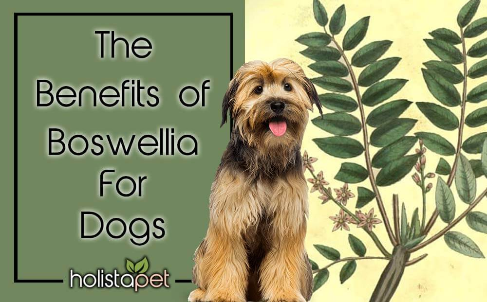 Boswellia for dogs