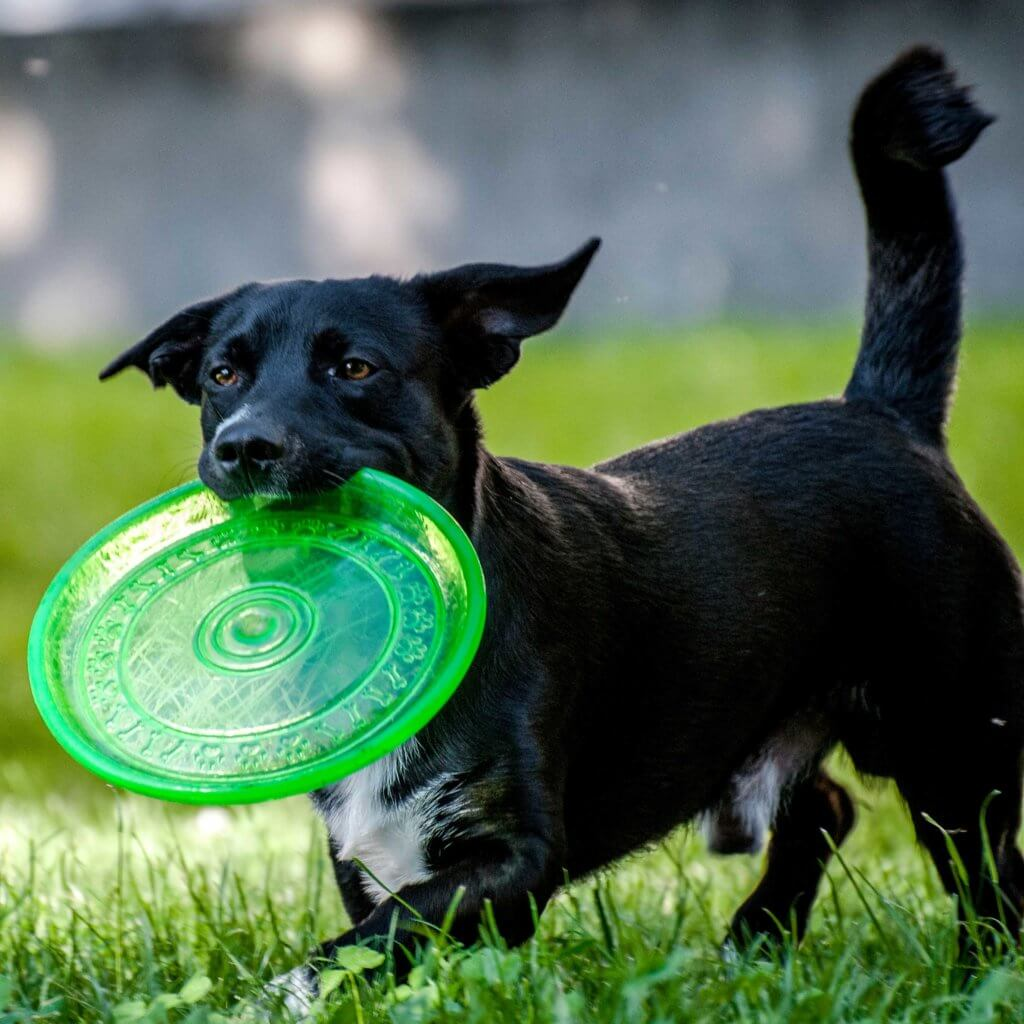 small black dog playing with a green frisbee