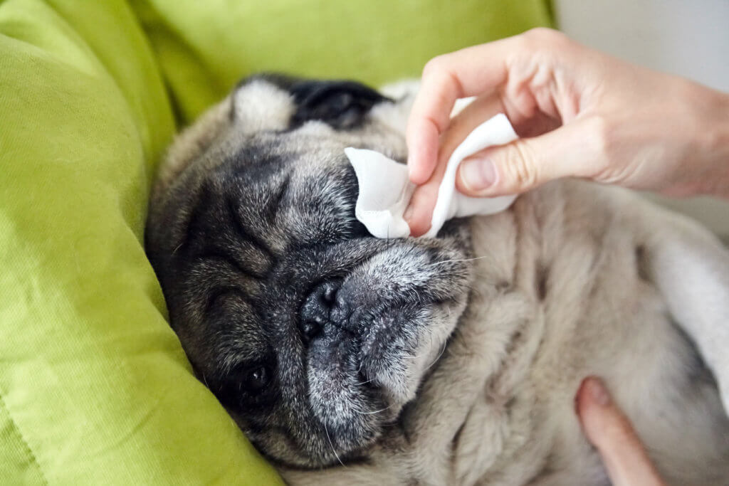 dog eye discharge home remedy cleaning