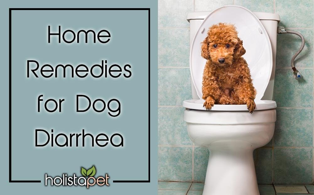 dog diarrhea home remedy Holistapet