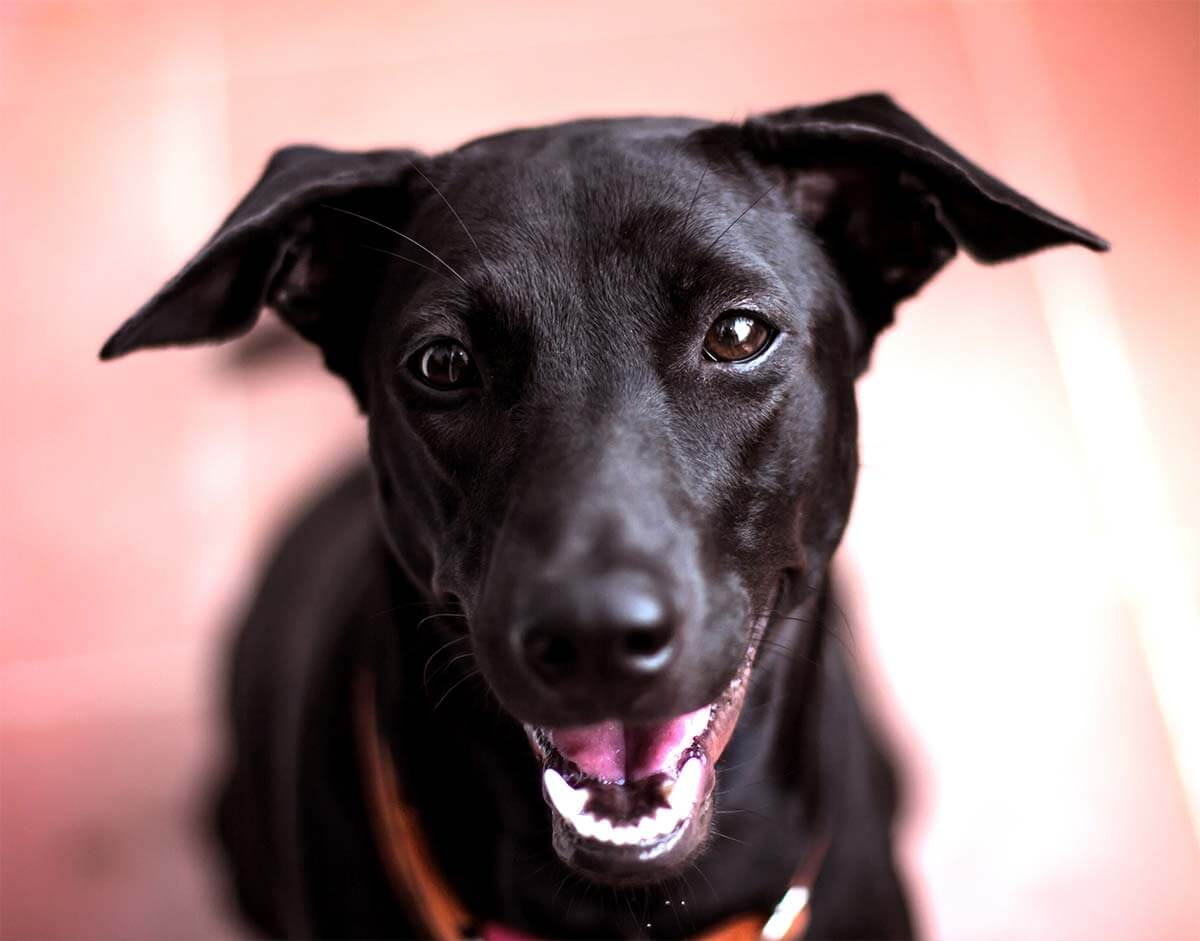 black pup smiling in front of a pink background