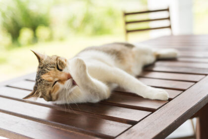 feline laying down on a wooden table and licking it's paw