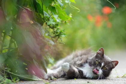 feline laying outdoors and looking at the camera