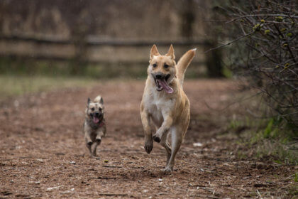 two canines running