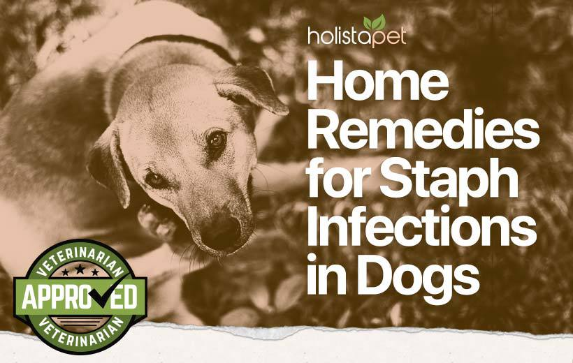 dog staph infection home remedy featured blog image