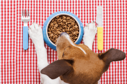 canine hovering above food bowl on a picnic blanket