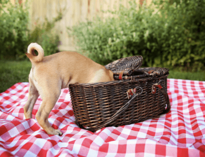 pup with head first into a picnic basket