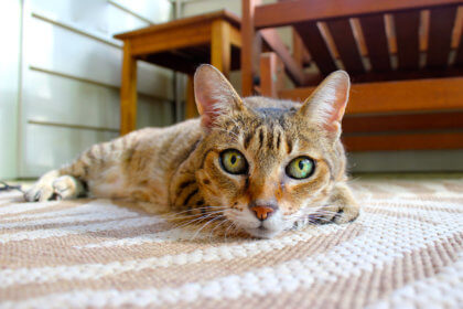 feline laying on a rug