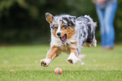 puppy chasing ball on a field of grass