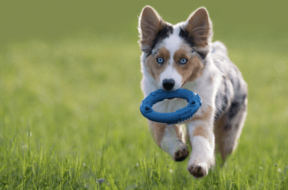 puppy running with a toy frisbee in mouth