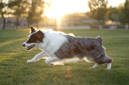 dog exercising in the grass