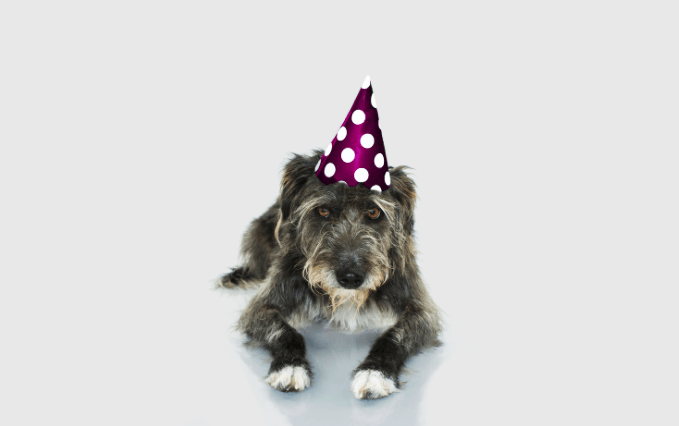 gray dog with a party hat on waiting patiently