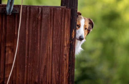 canine hiding behind wooden wall