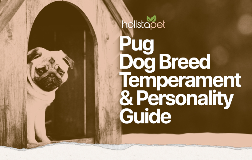 pug dog temperament and personality