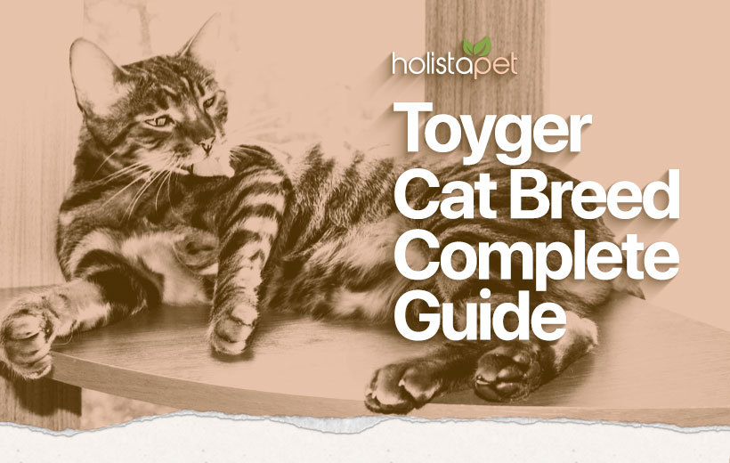 toyger cat breed featured image