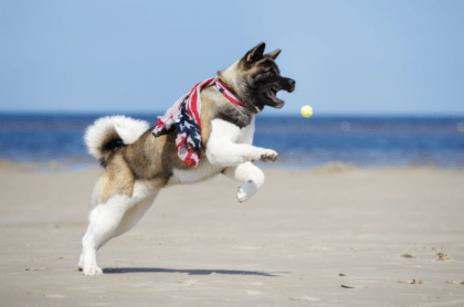 american akita exercising on the beach with a ball