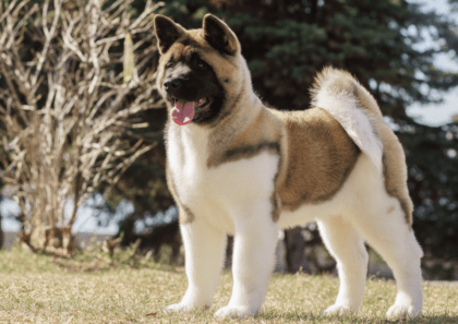 akita pup in the park