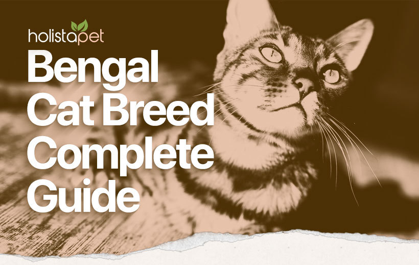 bengal cat breed featured image