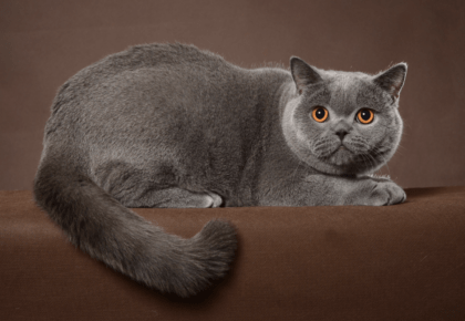 gray feline with a brown background