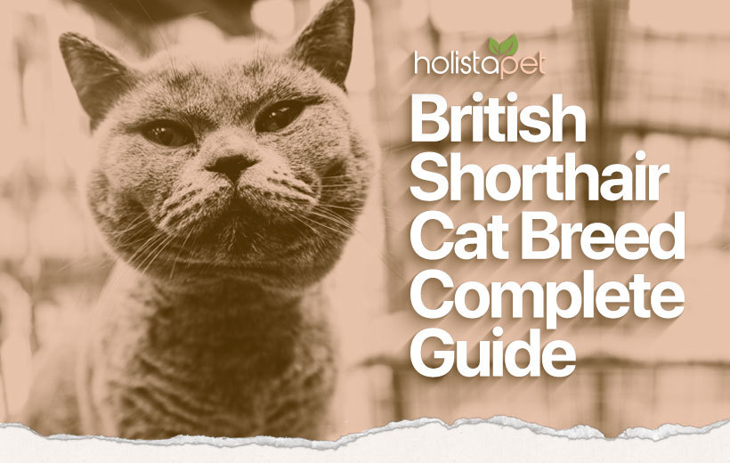 british shorthair cat breed featured blog image