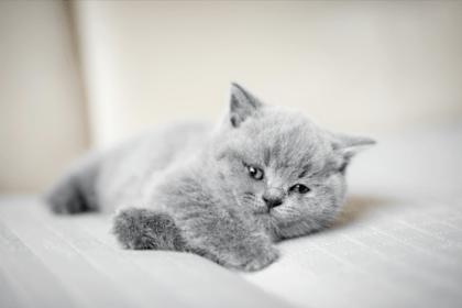 gray british shorthair kitten