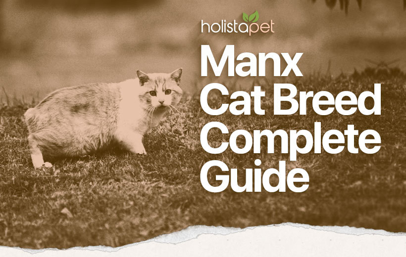 manx cat breed featured blog image