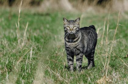 manx cat in grass