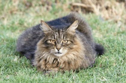feline sitting on a field of grass