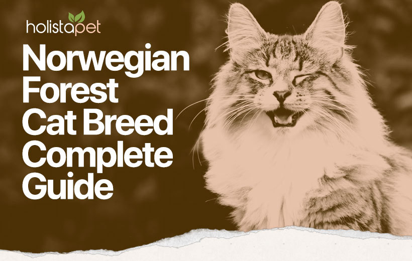 norwegian forest cat breed featured image