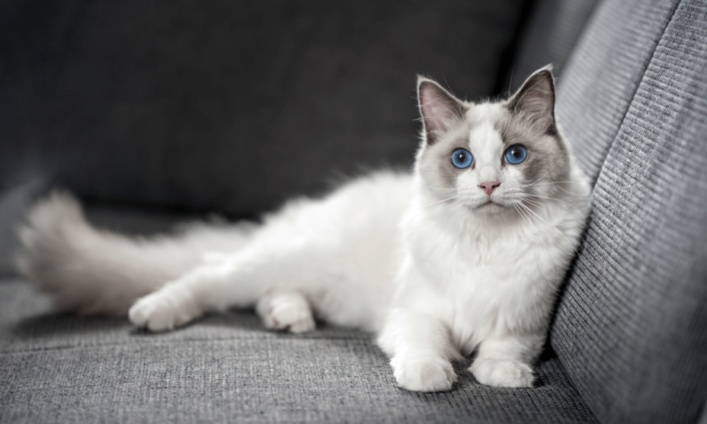 a ragdoll cat laying on the couch proving it's not cruel to keep a cat indoors
