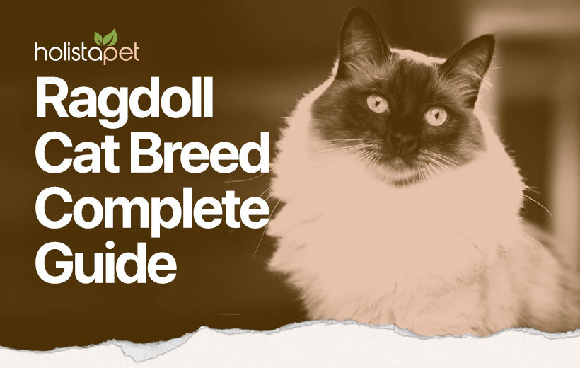 ragdoll cat breed blog featured image