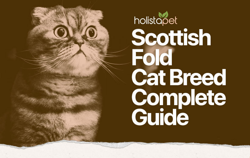 scottish fold cat breed featured image