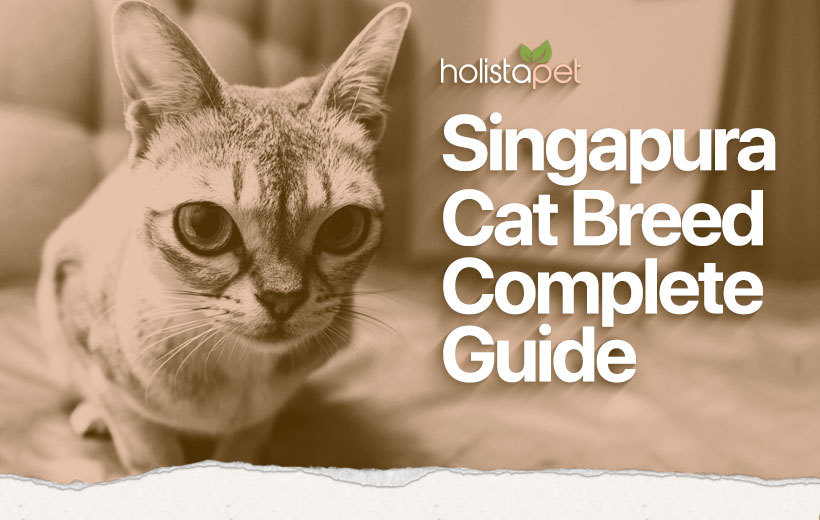 singapura cat breed blog featured image