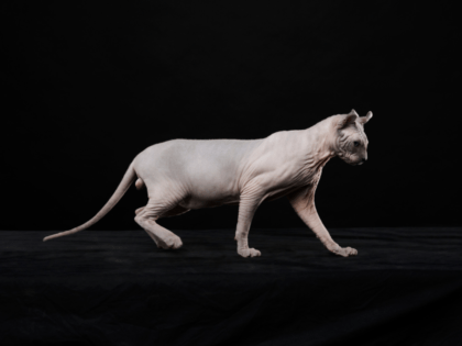 sphynx cat in front of black background