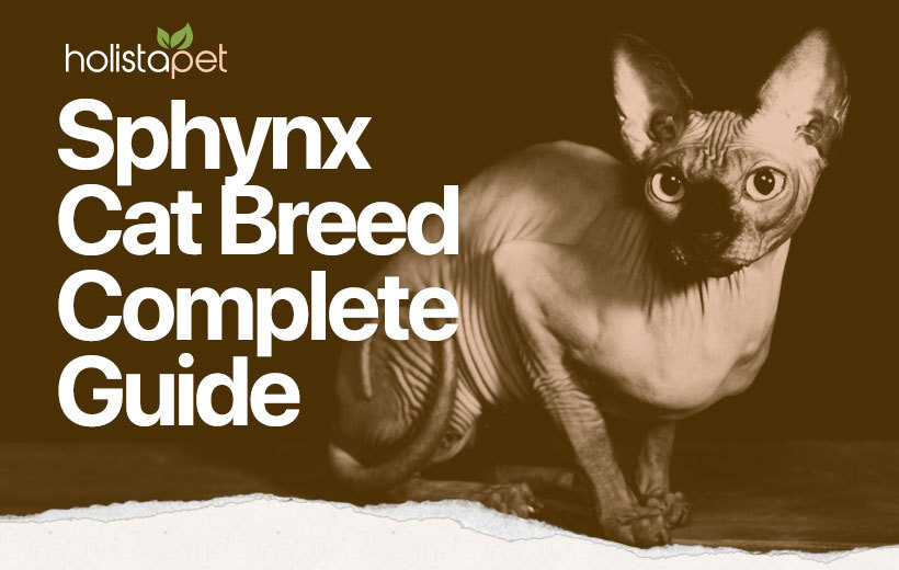 sphynx cat breed blog featured image