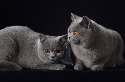 two gray cats lounging with a black background
