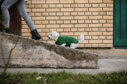 puppy in a green sweater trailing behind its owner